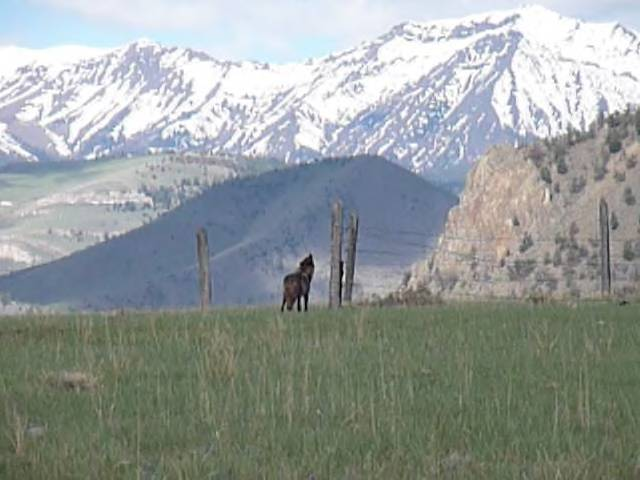Attached picture Wolf in Sunlght basin WY.jpg