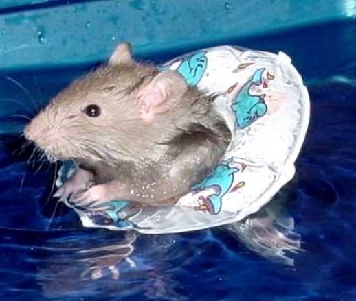 Attached picture swimmingmouse.jpg